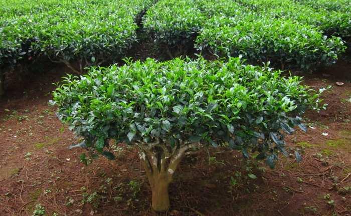 planta ceai camellia sinensis