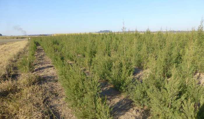 culturi planta ceai rooibos