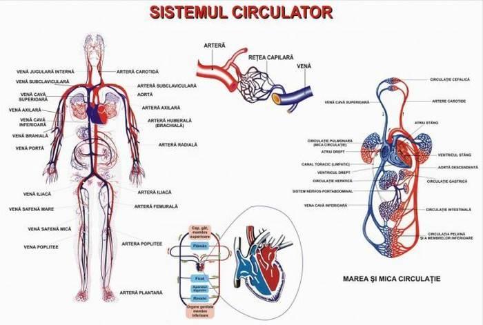 sistemul circulator cardiovascular