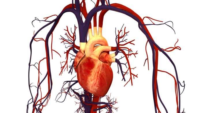 inima conectata cu vene artere capilare