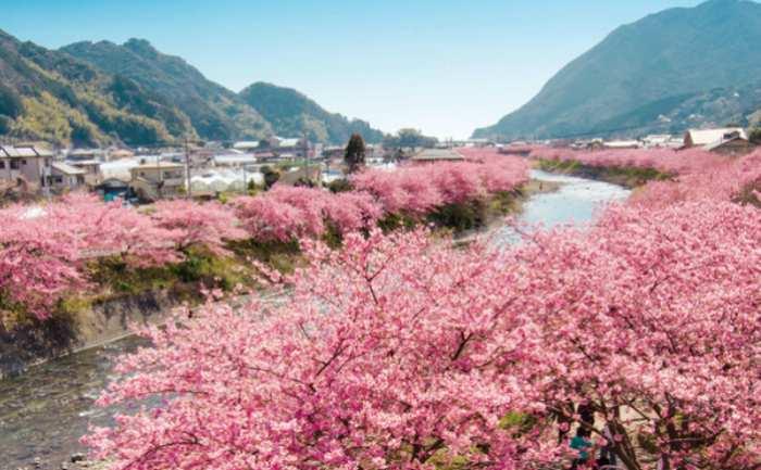 ciresi infloriti japonia