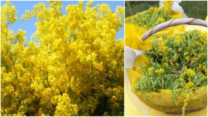 sanziene flori galbene