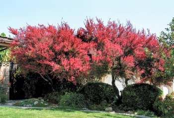 Leptospermum scoparium arborele de manuka