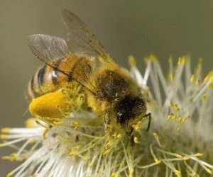 beneficii polen crud