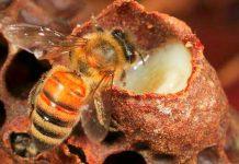 laptisor de matca regina albinelor