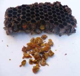pastura de albine cum se obtine