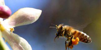polen crud pe albina