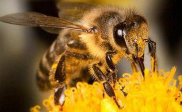polen uscat beneficii si pret