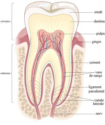 anatomie dinte cum arata un dinte